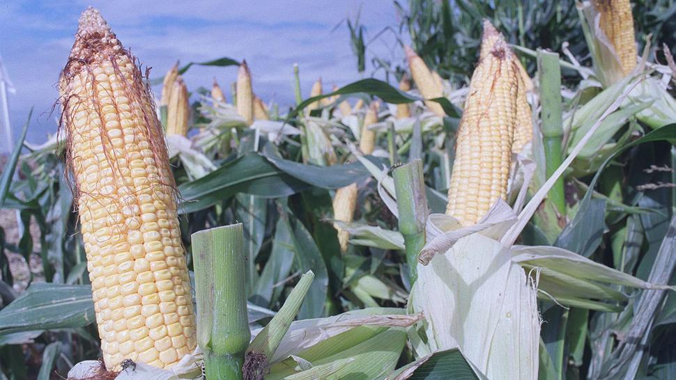 La modificación genética de las semillas ha permitido incrementar la productividad del cultivo de maíz (LaVoz/Archivo).