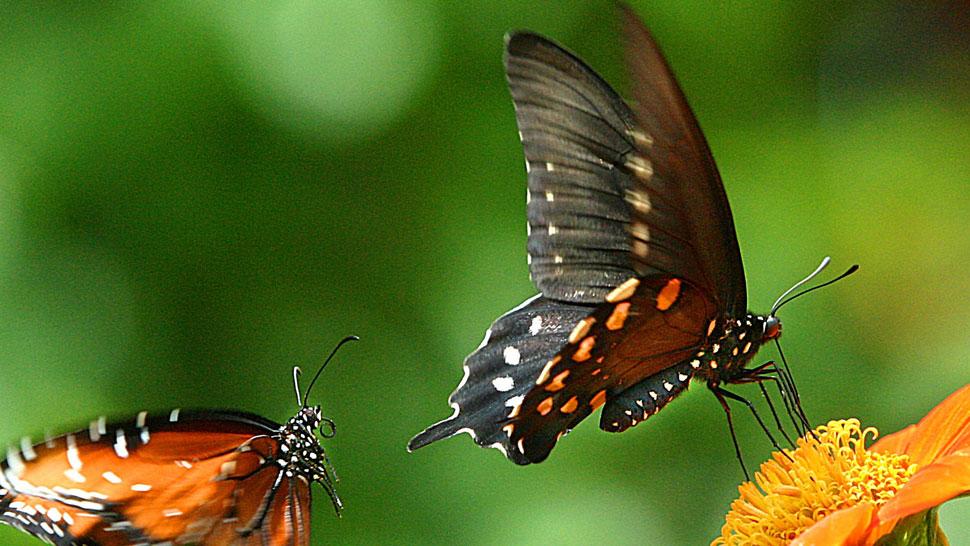 Mariposas. Un estudio pionero descubrió sus cambios de hábitat (AP).