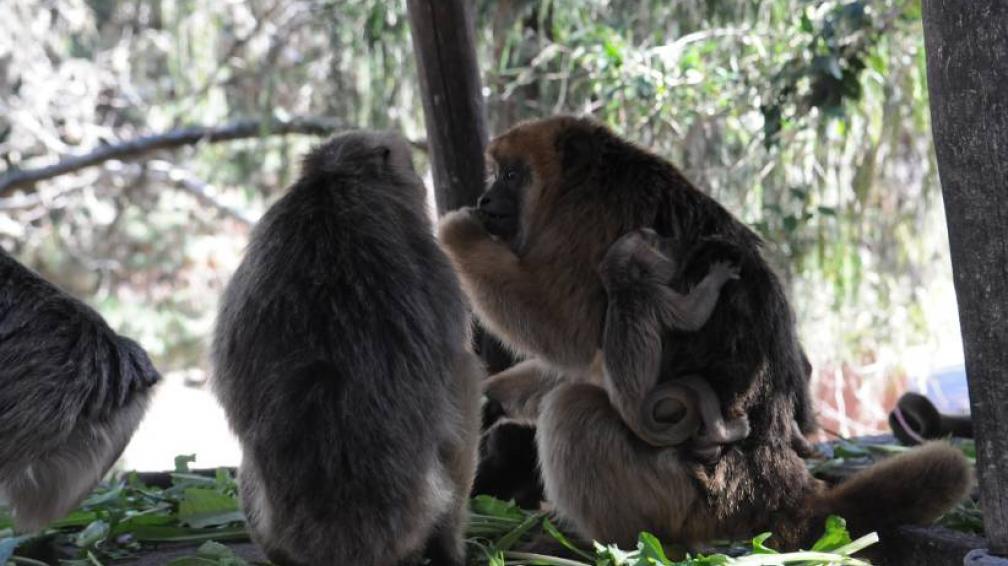 DEPRIMIDOS. Los monos se están recuperando después de la muerte de las hembras (LaVoz/Archivo).