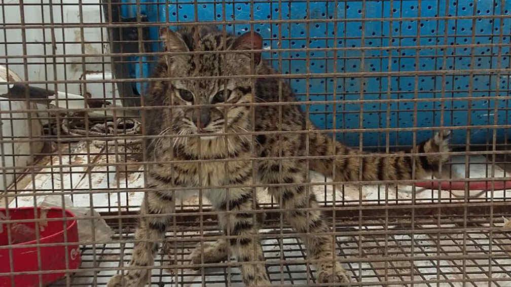 Liberaron a un gato mont s en el interior de c rdoba la for Lavoz del interior cordoba