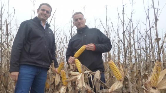 Mariano Bertello y Rodrigo Bosch, en un lote con maíz temprano listo para cosechar en la zona de Villa María (LaVoz).