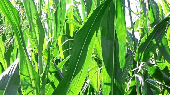 Expansión. En la última campaña, sin retenciones, el maíz ocupó en Córdoba 1,7 millones de hectáreas, la mayor en la última década.