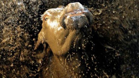 Los bañaderos bovinos, el método utilizado de control contra la garrapata.