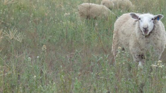 PASTURAS. Grama rhodes, acelga forrajera, agropiro, melilotus, moha, alfalfa, son utilizadas en la cadena forrajera para los ovinos.