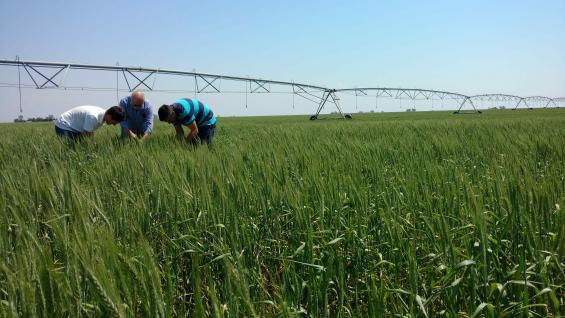 CEREALES. El trigo es el cultivo que mejor responde al riego: según datos del Inta Manfredi, puede duplicar sus rindes en relación con uno producido en secano. (LA VOZ/Archivo)