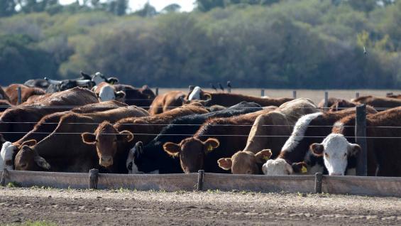 """ENGORDE. Si bien, por una cuestión estacional, los """"feedlots"""" comenzarán a vaciarse, los precios de los animales livianos se mantendrían durante los próximos meses. (Tomy Fragueiro)"""