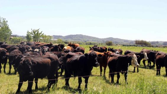 RODEOS. El pastoreo rotativo permite una rápida recuperación de los pastizales. (Gentileza Ovis 21)