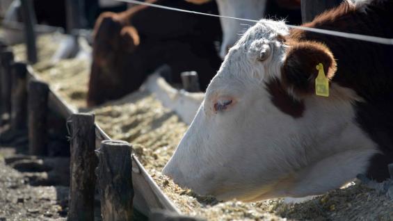 ENGORDE. A corto plazo, el feedlot sentirá un alivio porque las retenciones bajarán el costo del maíz. (LA VOZ/Archivo)