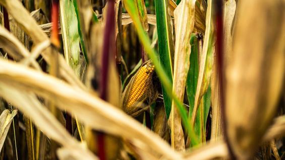 MAÍZ. Si bien las hectáreas sembradas han permanecido estables a lo largo del tiempo, la cosecha creció 2,5 veces gracias a los mejores rindes. (Pexels)