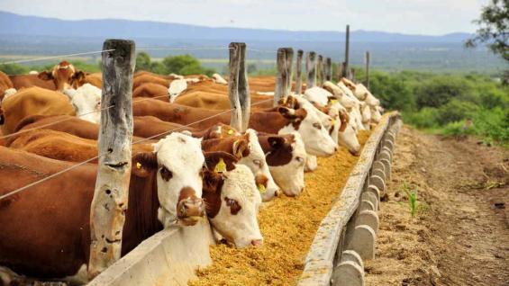 DESAYUNO. El aumento del precio del maíz complicó aún más la ecuación de los feedlots. (Gentileza La Posta SRL)