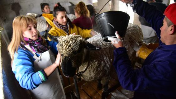 HIGIENE. Baño con champú y jabón para dejar una lana reluciente antes de marchar hacia Palermo. (LA VOZ)