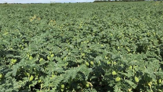 ROTACIÓN.El garbanzo es un cultivo clave para Maluca. Lo rota con maíz, soja y trigo candeal. (CLARIN RURAL)