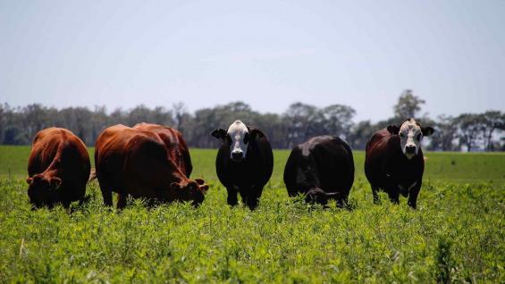 De exportación. Novillos pesados, sobre un potrero de pastura próximo a Río Cuarto, pertenecientes a un integrante del grupo. (Fotos CBA Beef)