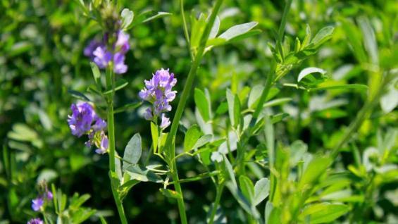 PRODUCTIVIDAD. La oferta de reserva base alfalfa requiere de un reajuste en el rendimiento por hectárea. (MARCELO HOYOS)