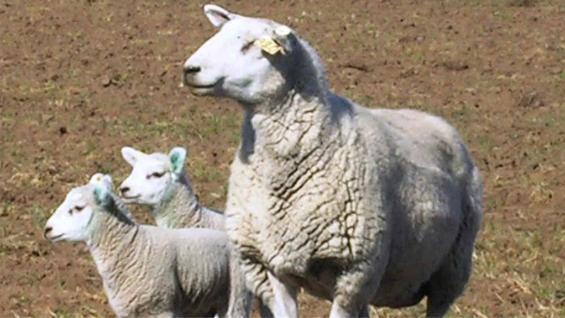 OVEJAS. Así es Pampinta, la raza de oveja más extendida en el país (Inta Informa)