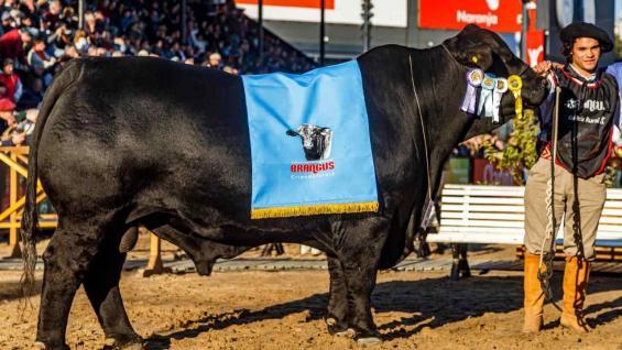 SEGUNDO. Reservado gran campeón macho en Palermo 2019, de la La Sultana y Pradera del Norte. (Foto Daniel Sempé)
