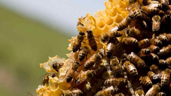 PROTECCION. La Unión Europea decidió prohibir el uso de tres insecticidas en actividades agrícolas para proteger a la abejas.
