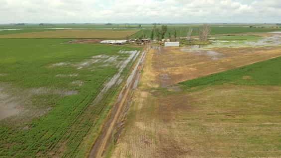 PÉRDIDAS. Estado de una soja resembrada en la zona de Marcos Juárez; al fondo los efectos del agua sobre la forestación. (Gentileza Pablo Bollatti)