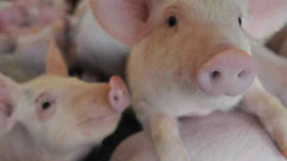 DAR EL SALTO. A través de modelos asociativos con granjas locales, productores chinos ofrecen inversiones para crecer en la cadena porcina. (La Voz)