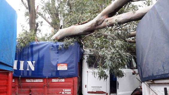 DAÑO. Árboles cayeron encima de camiones en la zona de Arroyo Cabral.