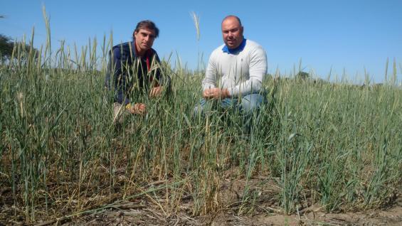 EXPERIENCIAS. Ernesto Tavarone y Marcelo Scelso probaron al centeno en sus campos y aseguran que es un excelente aliado para combatir las malezas de invierno. (LA VOZ)