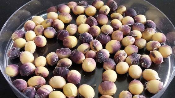 HONGO. Así quedan las semillas de soja afectadas por cercospora. (Fauba)