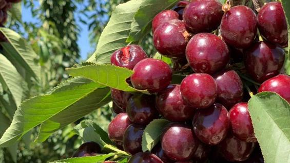 CEREZAS. Se siembran más de 2.000 hectáreas por año en Mendoza. (Prensa Agroindustria)