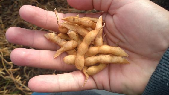 VAINAS. En algunas zonas, la falta de agua hizo que la soja arrojara granos muy pequeños. (Gentileza Lucas Andreoni)