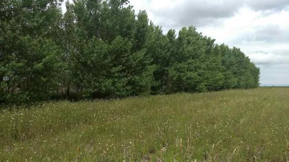 CORTINAS. Es una de las opciones más utilizadas en los planes forestales en Córdoba; contribuye además a proteger cultivos extensivos. (Optimizar)