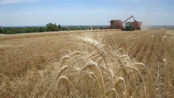 PRODUCCIÓN EN BAJA. Este año, el trigo aportará menos de cuatro millones de toneladas en Córdoba. (Inta Manfredi)