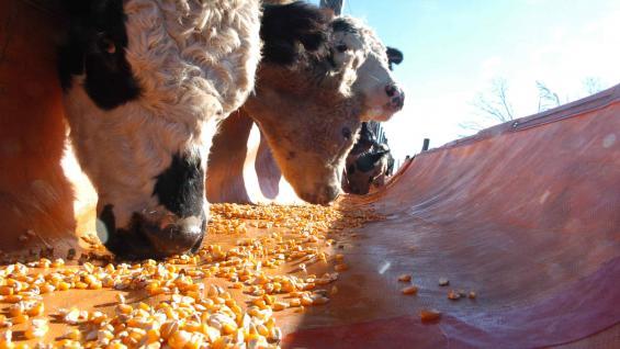 ALIMENTACIÓN. Una dieta con menos maíz en grano reduce los costos en el feedlot. (Ramiro Pereyra/Archivo)