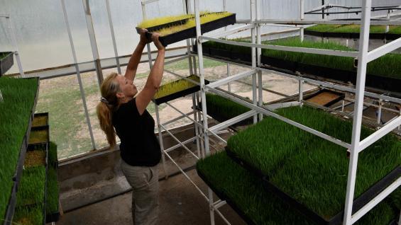 DESARROLLO. Tras germinar, los brotes son puestos en un vivero y asperjados con agua. En 10 días, están listos para ser consumidos. (Ramiro Pereyra)
