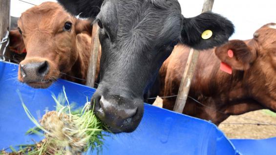 NUTRICIÓN. En los bovinos, la dieta hidropónica se complementa con fibra obtenida de alfalfa de segunda calidad. (Ramiro Pereyra)