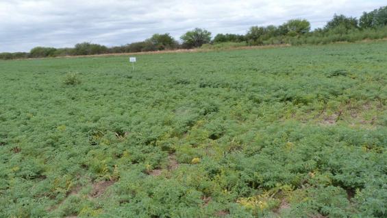 MEJORAMIENTO. En Los Chañaritos está el campo donde se desarrollan nuevas variedades de garbanzo. (FCA-UNC)