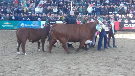 GRAN CAMPEONA. Una vaca con cría al pie fue elegida la mejor hembra ente los Barford. (LA VOZ)