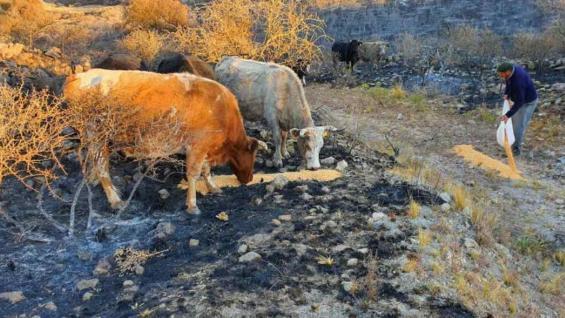 DAÑOS. Según una estimación del Inta Cruz del Eje, 5.000 bovinos se vieron afectados por los incendios. (José Hernández / LA VOZ)