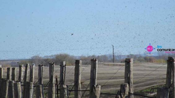Invasión de langostas en Colonia Caroya (http://fm-comunicar.com.ar/)