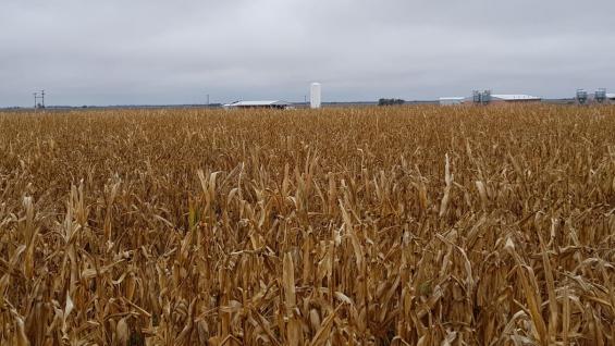 CASI UNA TONELADA. Los maíces en La Constancia, que llegaron a rendir 91,2 quintales por hectárea. Atrás, la granja de cerdos de donde salieron los efluentes que los potenciaron. (Inta Manfredi)