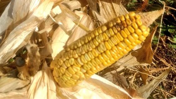 MAÍZ. Cultivo de siembra tardía afectado por sequía en Santiago del Estero. (Esteban Copati)