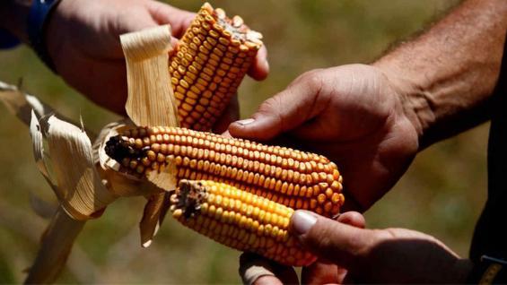 MAÍZ. El cereal también sufre las consecuencias de la falta de agua (AP)