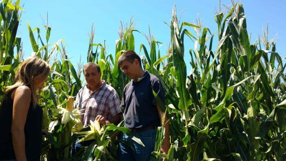 MAZORCA SERRANA. Funes, Conci y Climenti evalúan el estado del maíz sembrado en noviembre, del que esperan un rinde en torno a 80 quintales por hectárea. (LA VOZ)