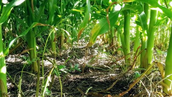 DESARROLLO. El maíz, sembrado sobre la vicia, no requirió de aplicaciones químicas para el control de malezas. (Gentileza Melisa Defagot)