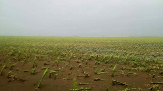Maíz afectado por el granizo, a 10 kilómetros al oeste de Vicuña Mackenna.