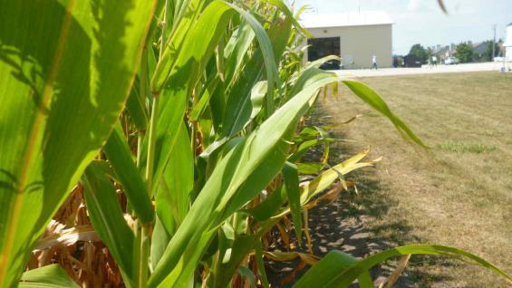 En Estados Unidos al maíz le queda todavía más de 20 días en los lotes, antes de la cosecha. (La Voz)