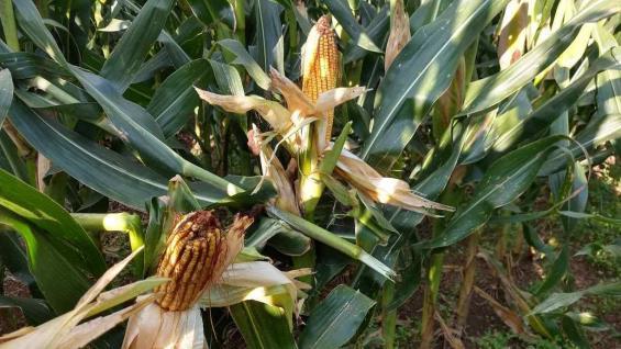 HÍBRIDOS. La elección de las semillas y las estrategias nutricionales trajeron buenos resultados. (Gentileza Lucas Andreoni)