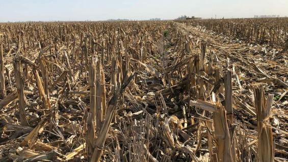 RASTROJO. Maíz y trigo ganan tierra en el sudeste. (Gentileza Frango Bardeggia)