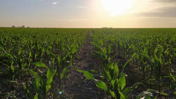 VERDE. Un lote de maíz tardío sembrado en Inriville, en excelentes condiciones gracias a las últimas lluvias. (Gentileza Juan Pablo Alzapiedi)