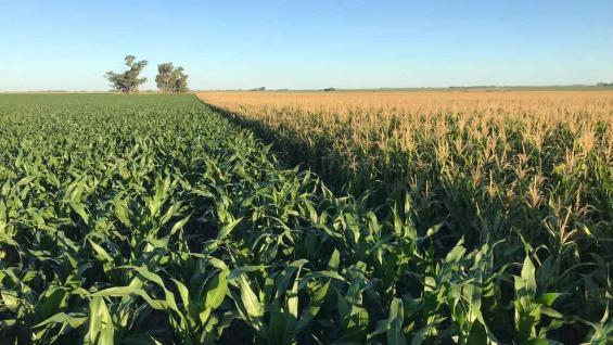 PLANTEO. Combinar maíces tempranos y tardíos, una estrategia que se hizo más usual que nunca este año. (Gentileza Santiago Lorenzatti)