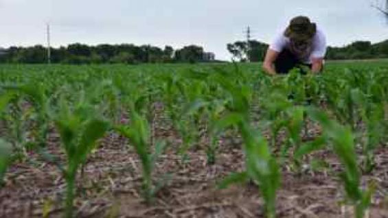 DESARROLLO. Los maíces de primera muestran buena evolución en el centro de la provincia. (TOMY FRAGUEIRO / ARCHIVO)