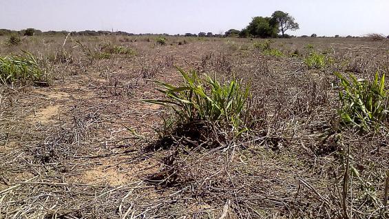 """MALEZAS. Cada lote, hoy en día, es un campo de batalla entre los cultivos y los """"yuyos"""" difíciles de eliminar. (LA VOZ)"""